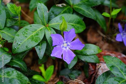 Purple blue flowers of periwinkle (vinca minor) Wallpaper Mural