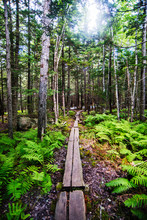Trail Through The  Woods Surrounding Jordon Pond, Acadia National Park, Maine, United States, North America
