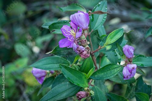 Photo wild purple melastoma blume plant