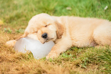 Cute Puppy (Golden Retriever) ...