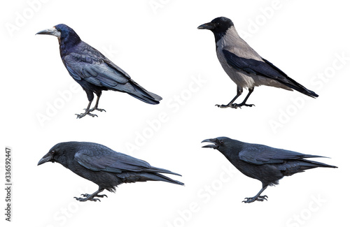 Fotomural Carrion Crow, Corvus corone, isolated on white background