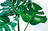 Beautiful Tropical Monstera leaf isolated on white background with clipping path for design elements, Flat lay