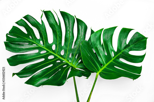 Fototapeta Beautiful Tropical Monstera leaf isolated on white background with clipping path for design elements, Flat lay obraz na płótnie
