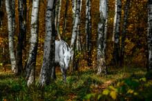 Portrait Of White, Grey Horse ...