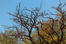 Dry Tree With Cloudy Sky,Dry Tree From Caatinga Biome During Long Drought In Curaçá,