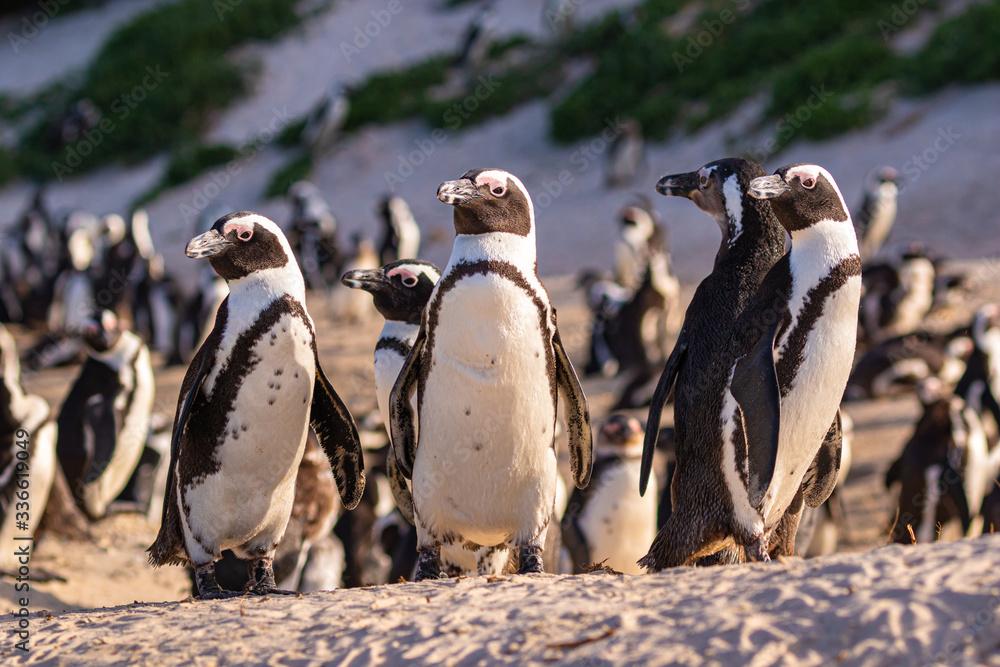Humboldt-Pinguin Kolonie (Spheniscus humboldti) in Südafrika