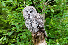 The Great Grey Owl Or Great Gray Owl (Strix Nebulosa) Is A Very Large Owl, Documented As The World's Largest Species Of Owl By Length.