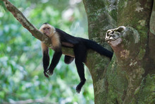 Small White Faced Capuchin Mon...