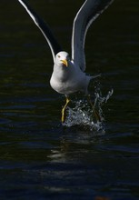 Seagull Landing On Water Surface