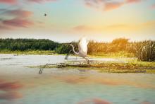 Beautiful White Egret At The Danube Delta, Romania