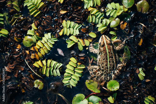 Green frog in water. Natural background. Wallpaper Mural