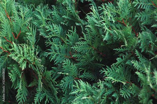 Foto cypress tree background texture