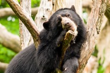 Young Spectacled Bear On Tree ...