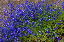 Luxuriously Blooming Lobelia Bush, Lobelia Erinus