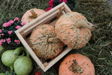 "Decorative Pumpkins From ""Gold..."