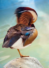 Beautiful Mandarin Duck Staying On A Stone On The Sea Background