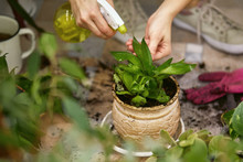Female Gardener Spraying Domestic Plants' Leaves After Transplantation. Woman Takes Care Of The Plants. Home Gardening