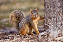 Fox Squirrel Taken In Southern...