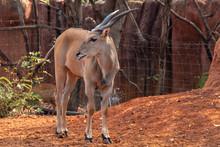 Kudu Young ( Tragelaphus Strepsiceros) In Zoo Nakhonratchasima, Thailand.