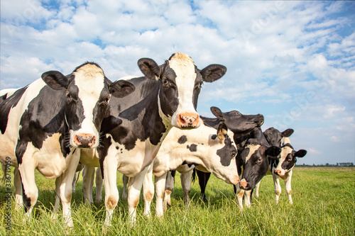 Group of cows stand in a row in the pasture, curious and playful under a cloudy Canvas