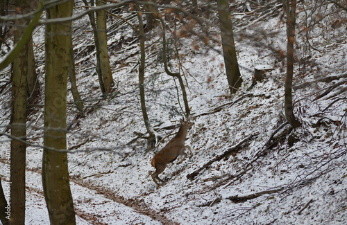 Deer hind running and jumping in the winter inside forest Canvas Print