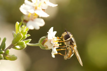 Hoverfly On A Flower - Genus E...
