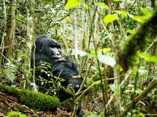 Silverback Gorilla, Bwindi Impenetrable Forest, Uganda, Africa