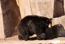 Black Bear At The Milwaukee Co...
