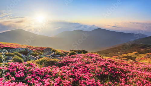 Fotografie, Obraz Panoramic view in lawn with rhododendron flowers