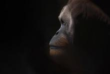 Profile View Of Orangutan Looking Away Against Black Background