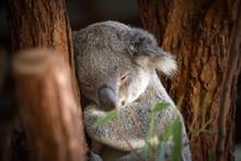 Close-up Of Koala Sleeping