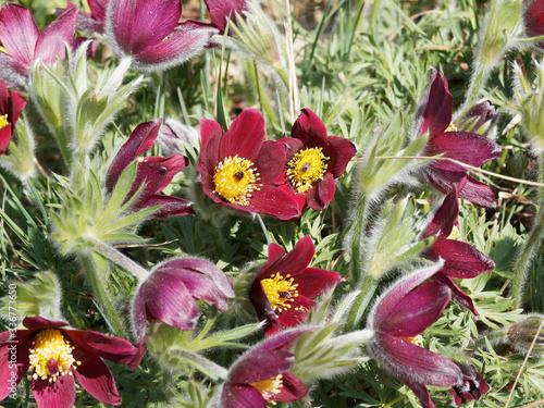 European or common pasqueflower (Pulsatilla vulgaris rubra) Canvas Print