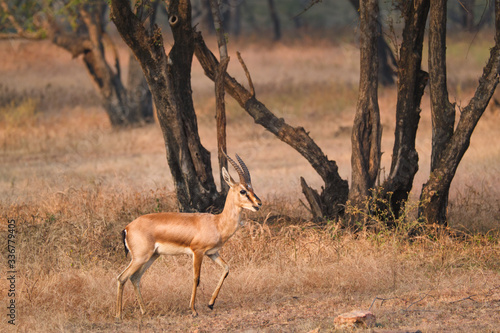 Fotografiet Young Indian bennetti gazelle or chinkara walking and grazing in the forest of Rathnambore National Park