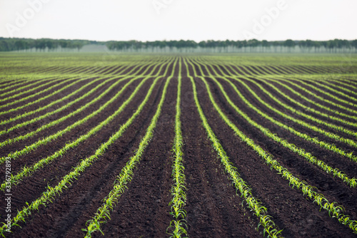 Fotografering Background with a field of young corn