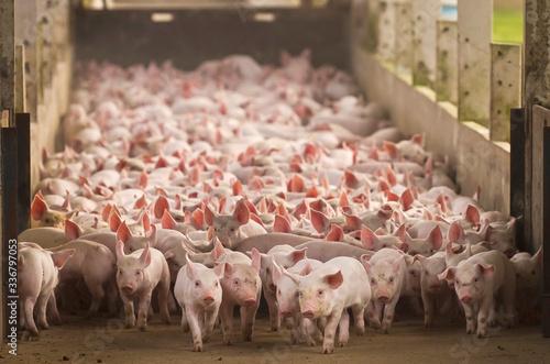 Fotomural Agro industria suino