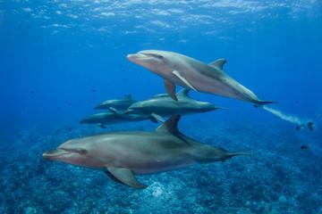 Fototapeta Delfin dolphins in the sea