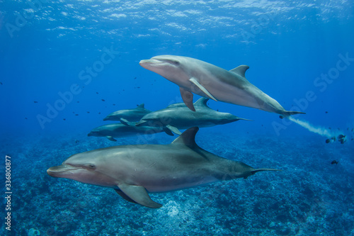 dolphins in the sea Canvas Print