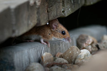 Wood Mouse - Apodemus Sylvaticus Is Murid Rodent Native To Europe And Northwestern Africa,  Common Names Are Long-tailed Field Mouse, Common Field Mouse, And European Wood Mouse