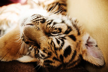 Close Up Of A Young Tiger Sleeping