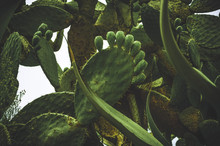 Low Angle View Of Prickly Pear...