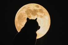 """The Bear And The Moon"" - Shiba Inu And Supermoon"