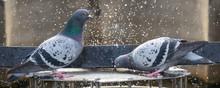Pigeon (Columba Livia F. Domes...