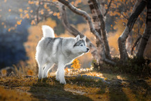 Siberian Husky In The Autumn Forest Of The North