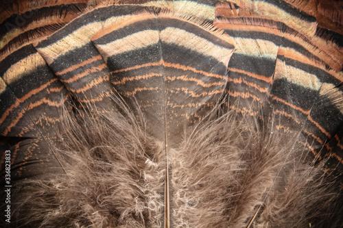 Eastern Wild Turkey Tail Feathers Fan Closeup Fototapeta