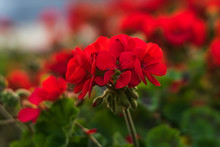 Blooming Red Geranium On A Sum...