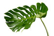 Tropical jungle Monstera leaves isolated, Swiss Cheese Plant, isolated on white background,with clipping path.