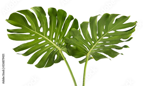Fototapeta Two Tropical jungle Monstera leaves isolated, Swiss Cheese Plant, isolated on white background obraz na płótnie