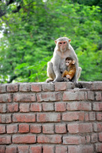 A Monkey With Babies Relaxes A...