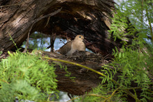 Morning Dove Perched In Tree W...