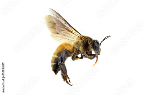 Golden honeybee or bee isolated on the white background Poster Mural XXL